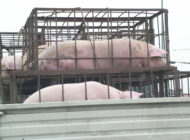 Pigs In Transport